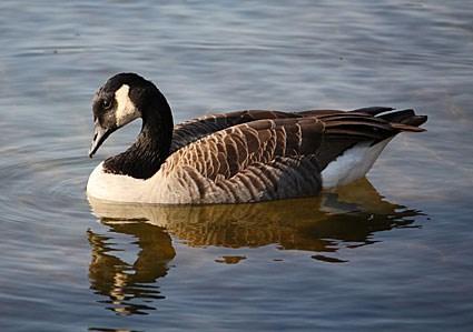 Αποτέλεσμα εικόνας για goose photos