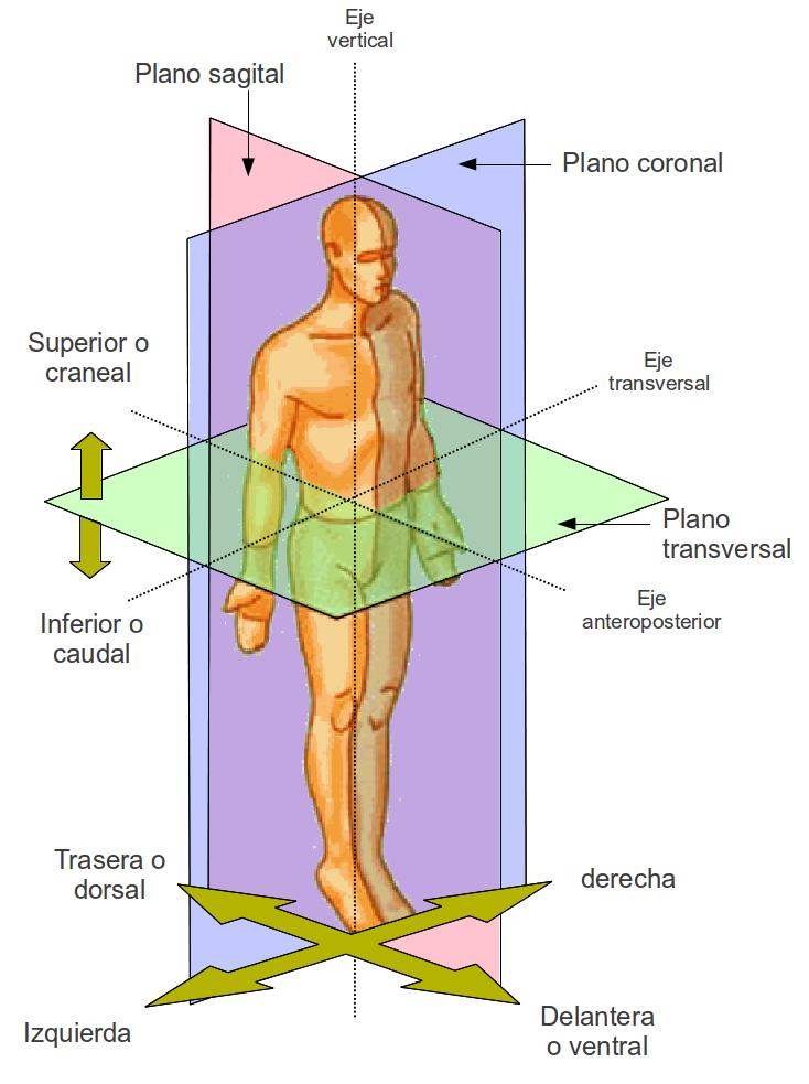 Cavidades de la Anatomia Humana