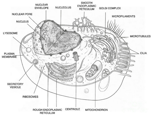 Plant and animal cells diagram creating biological diagrams of plant and animal cells ccuart Images