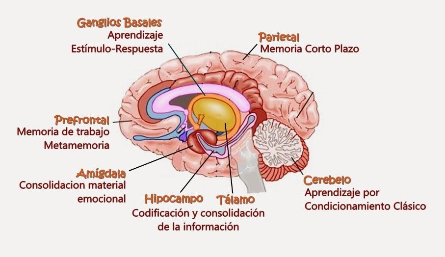 Increíble El Aprendizaje De La Anatomía Del Cerebro Imagen ...