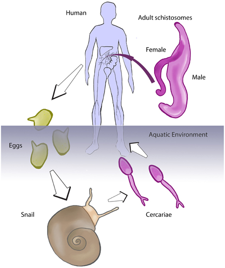Schistosomes on emaze