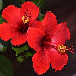 Bunga Kebangsaan