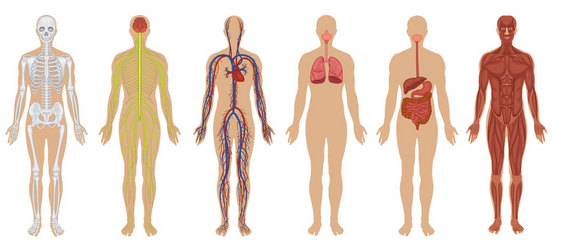 body systems and ecosystems on emaze, Human Body