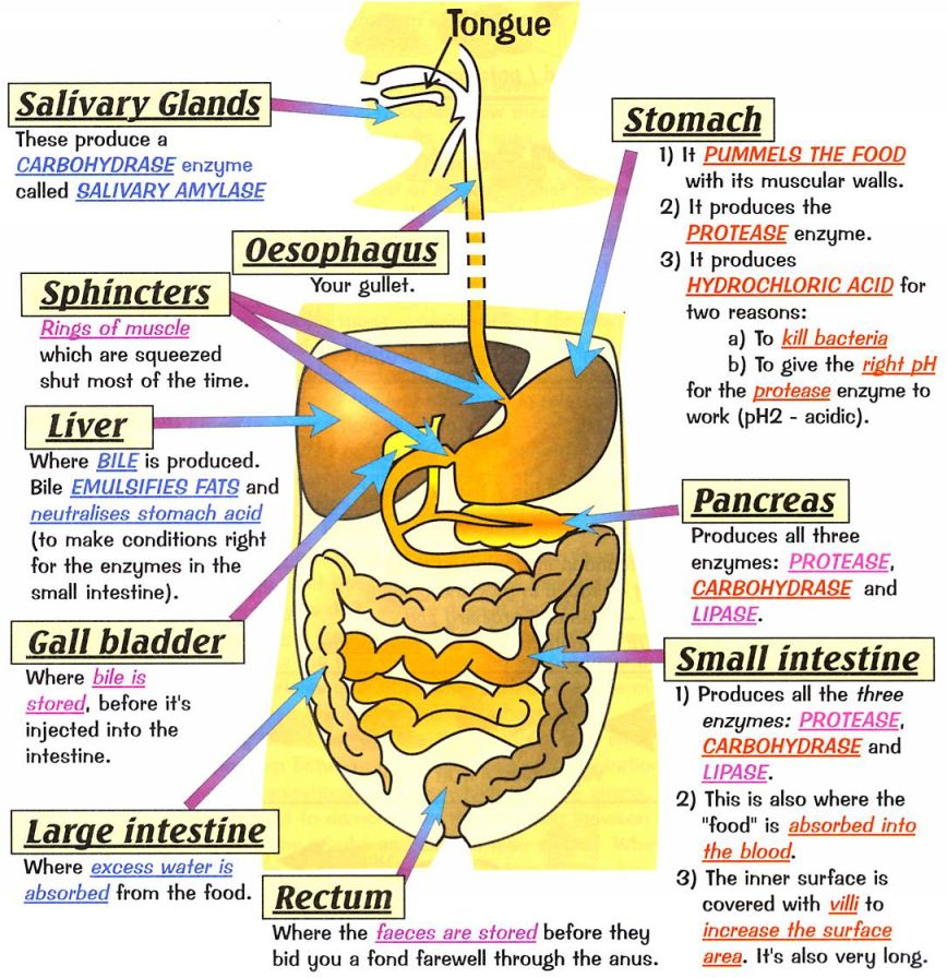 Blissful earth april 2017 image result for image of digestive system ccuart Gallery