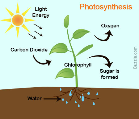 a short description of how photosythesis processes in plants Plants need something to hold them down and dig their roots through a short description of how photosythesis processes in plants.