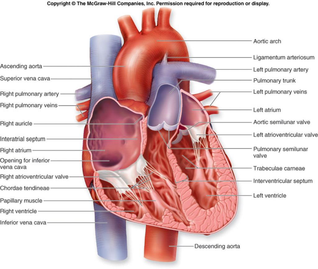 Pbp case study presentation group 2 on emaze the outer layer of the heart wall is the epicardium the middle layer is the myocardiumand the inner layer is the endocardium ccuart Choice Image
