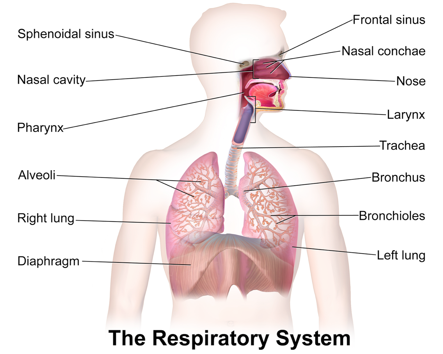 cardiovascular respiratory system The structures of the respiratory system interact with structures of the skeletal,  circulatory, and muscular systems to help you smell, speak, and.