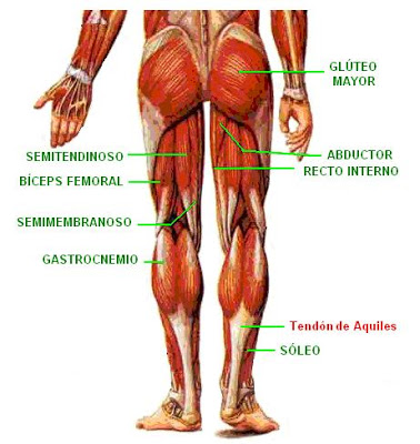 Músculos de la cadera extremidades inferiores. on emaze