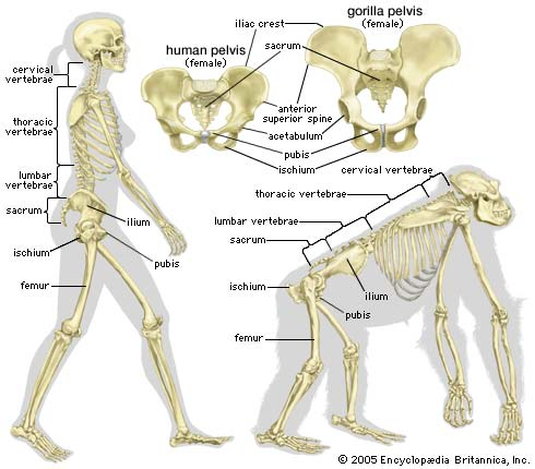 the western lowland version 2 on emaze, Skeleton