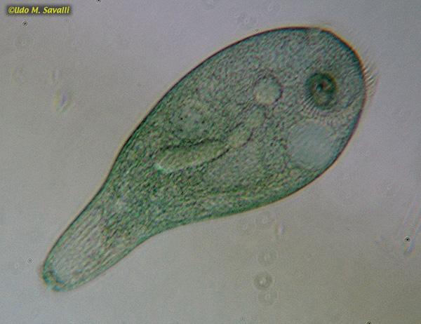 S ledescriptlab also Stentor cell diagram together with Stentor cell diagram as well Team Earl moreover G 6m2h0ri06vgl0h3vcdou3a0. on spirostomum diagram labeled
