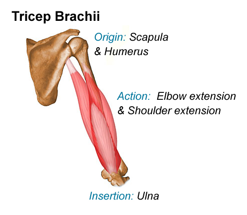 Triceps Brachii And Biceps Brachii
