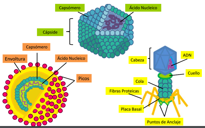 Los Virus Estructuras Acelulares La Célula Y Sus Organelos