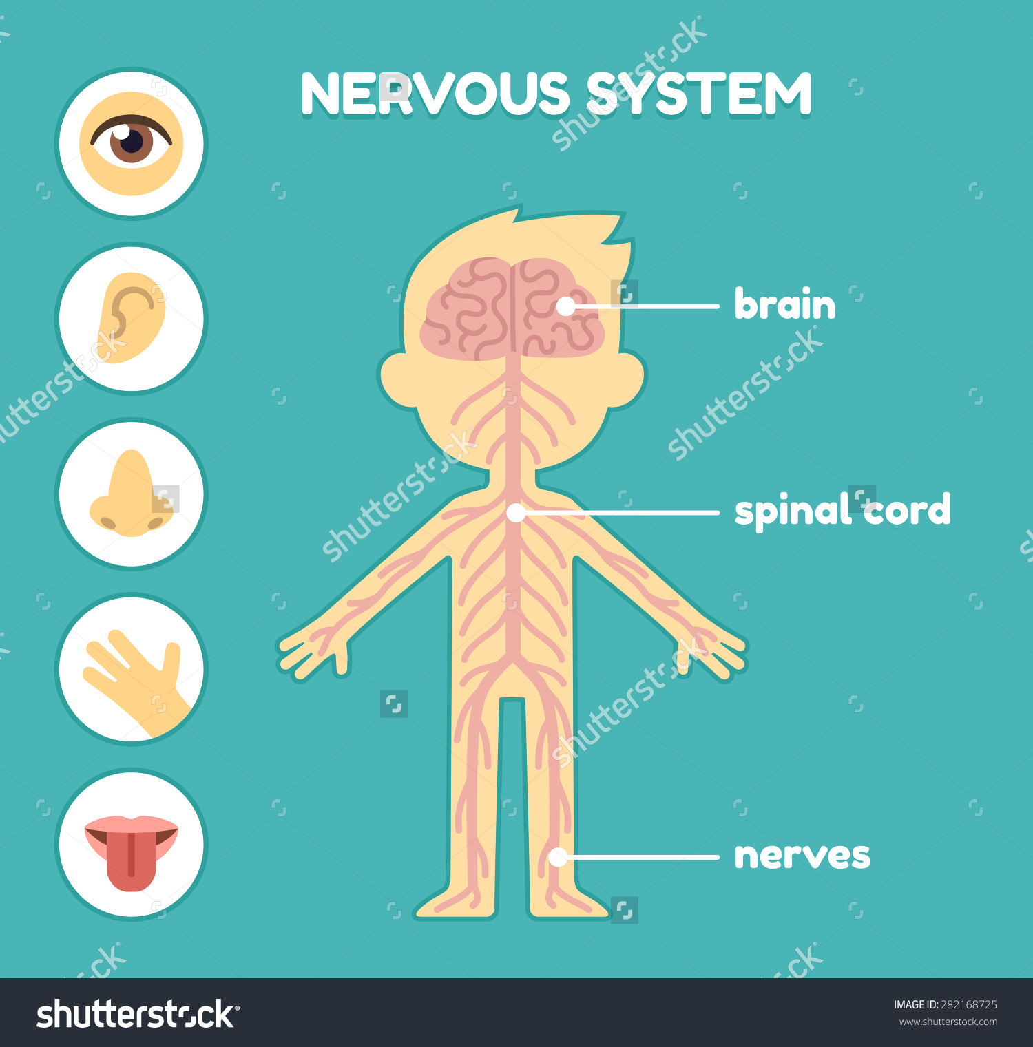 Nervous system on emaze ccuart Choice Image