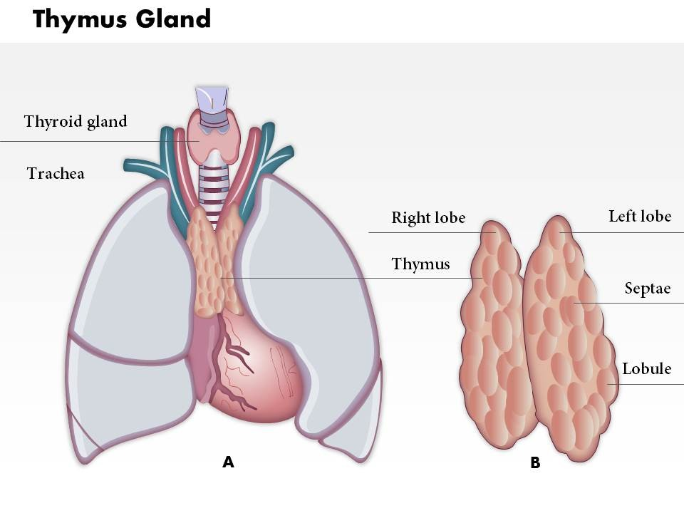 Thymus Gland Definition Image collections - human anatomy organs diagram