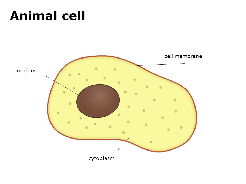 animal cell by masontwalker47 on emaze