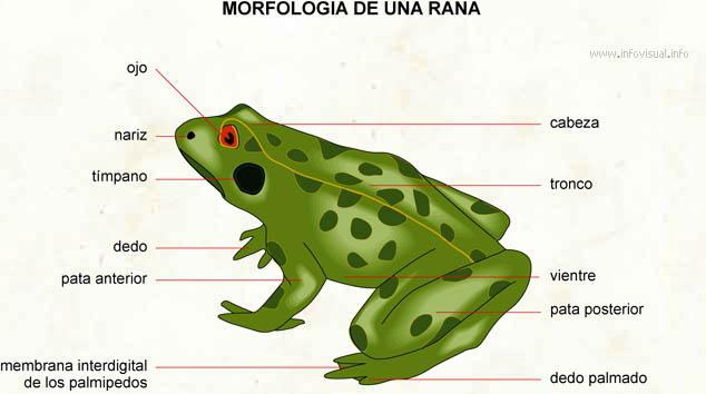 Resultado de imagen para respiracion en sapos y ranas