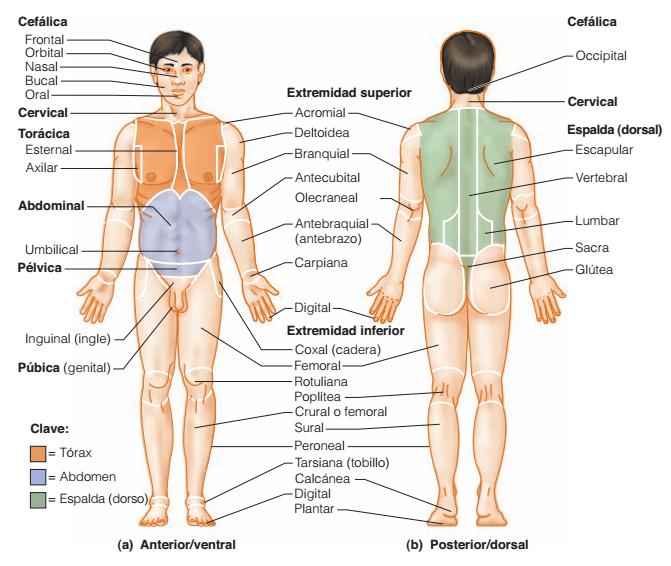 Qué es la anatomía?