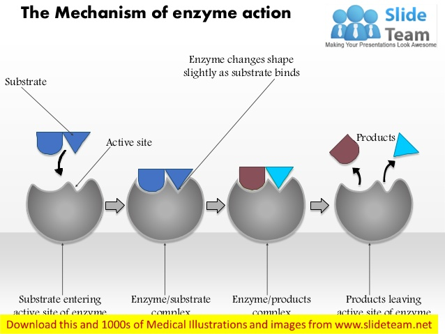 Enzymes On Emaze
