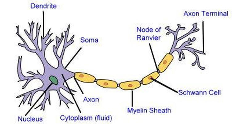 science project on emaze : brain cell diagram - findchart.co