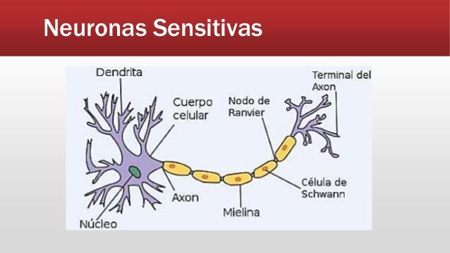 Explora tu grandioso sistema nervioso APRENDE SOBRE EL SISTEMA