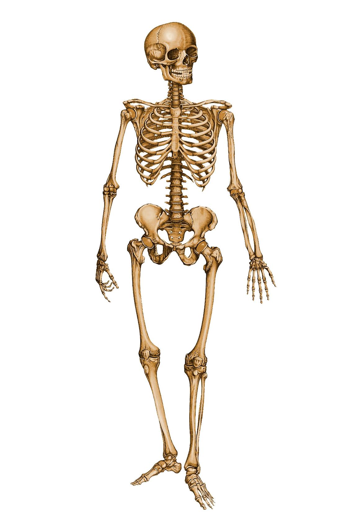 Magnífico Unlabeled Skeleton Colección de Imágenes - Imágenes de ...