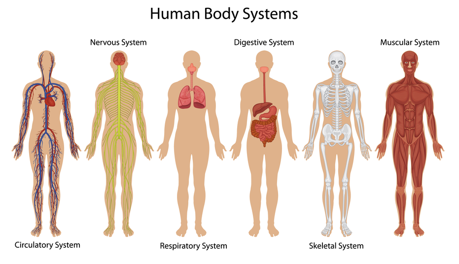 download body system facts | ohnonotstereo, Muscles