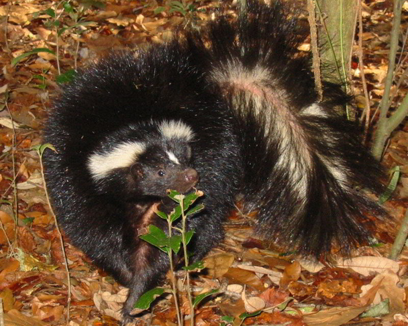Where do Wild Skunks Live? - Questions and Answers