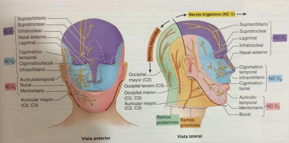 Nervios, venas y arterias on emaze