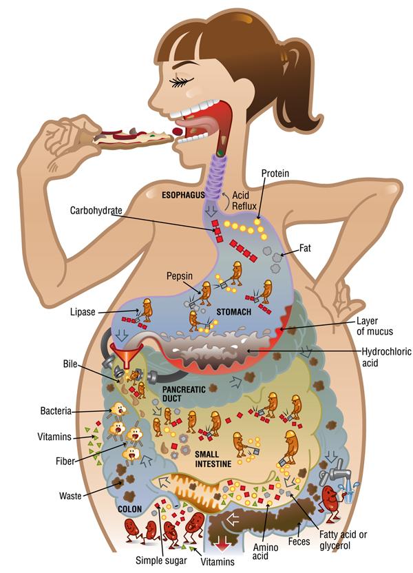 Sistema Digestivo on emaze