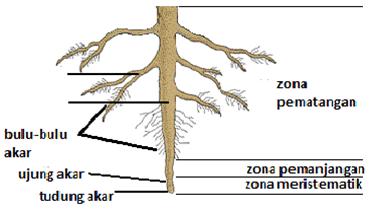 Jaringan tumbuhan dan hewan kelas xi smama on emaze akar pada tumbuhan ccuart Images