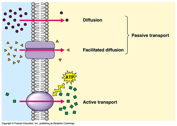 cell transport.pptx on emaze