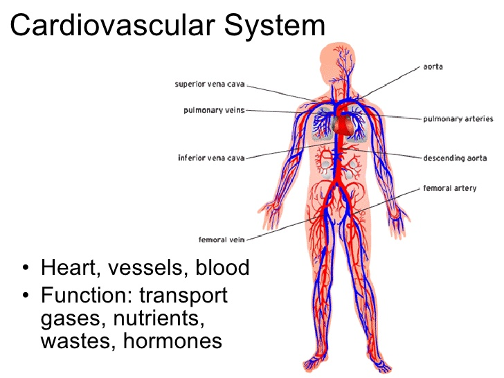 the structure of the cardiovascular or circulatory system