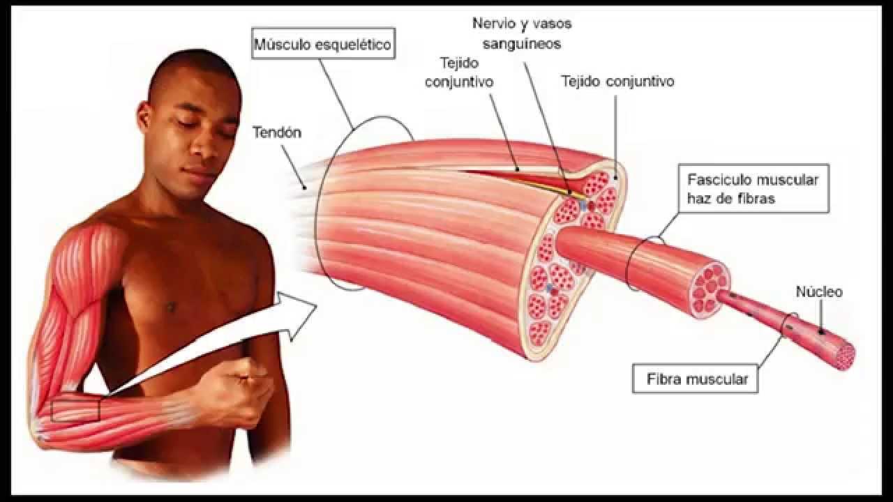 Magnífico Los Músculos De La Ingle Imagen - Imágenes de Anatomía ...