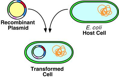 transformation of e coli lab report