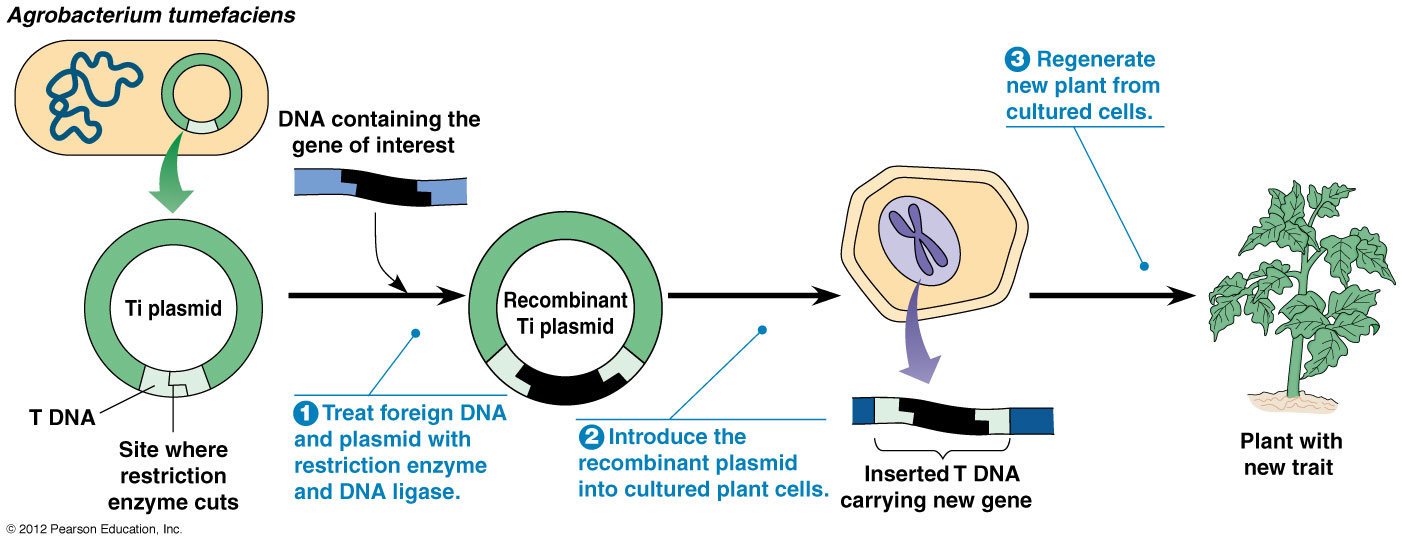 an introduction to the identification of an unknown plasmid using restriction enzymes gel electropho What is the purpose of a restriction enzyme in an electrophoresis gel unknown strand of dna by using restriction enzymes in gel electrophoresis.