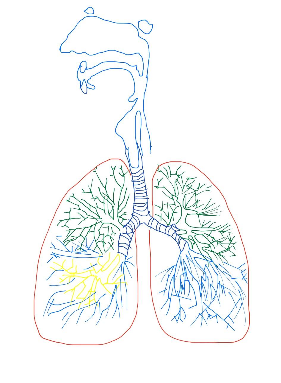 Дыхательная система картинка без подписей, открыток для