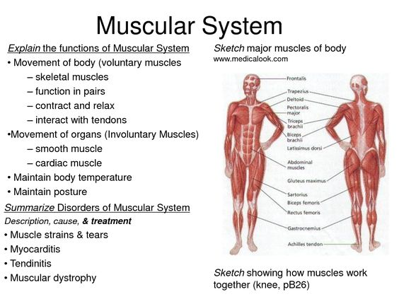 muscular and on emaze, Human Body