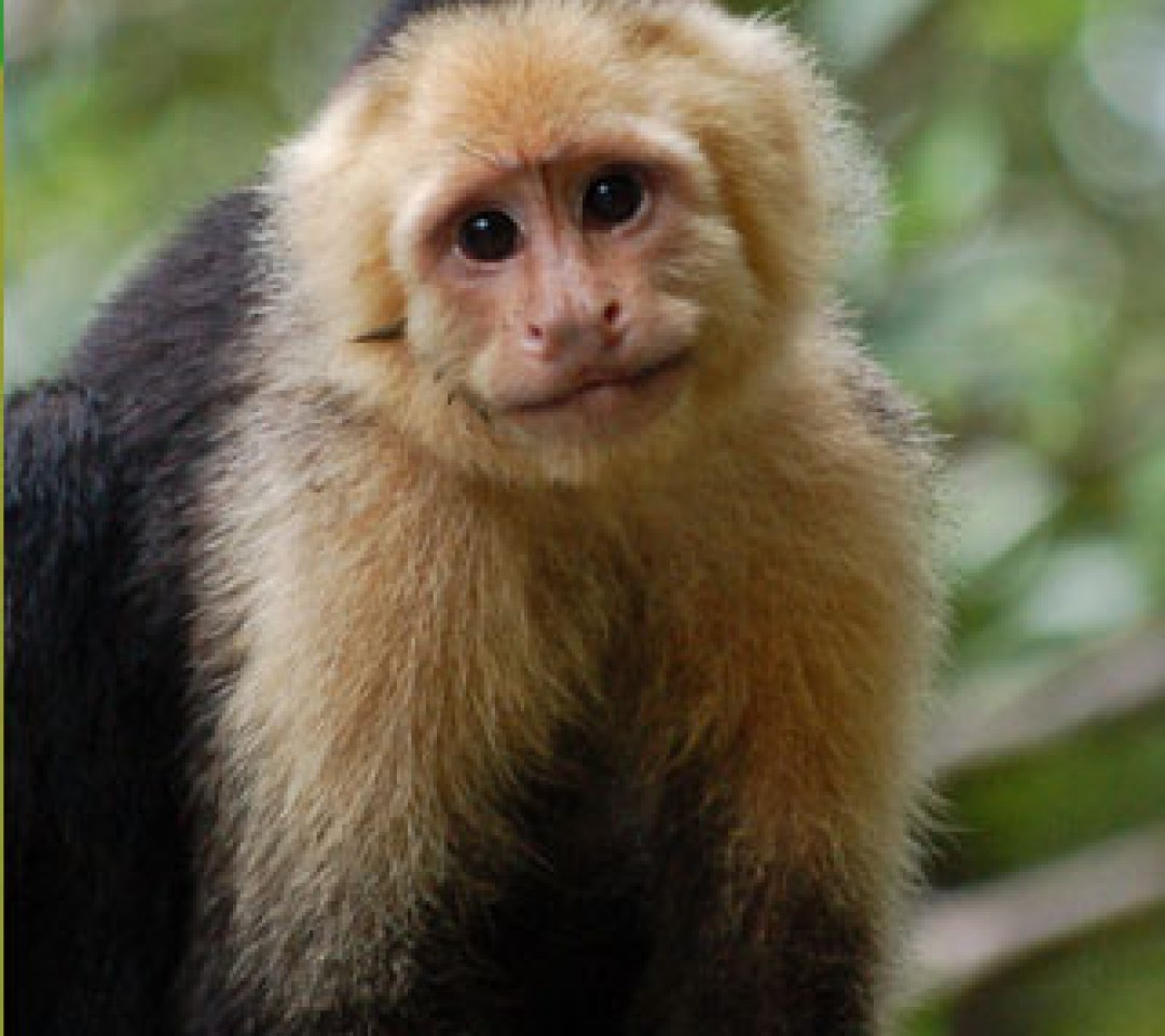 Image result for image of a capuchin monkey