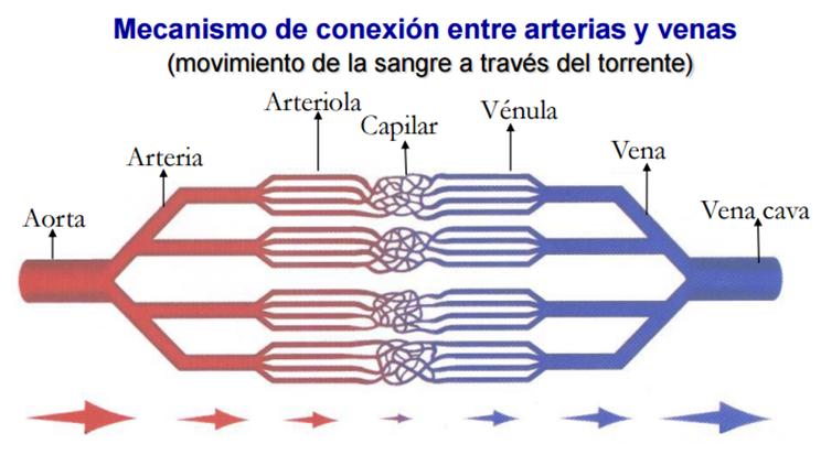 Asombroso Arteria Y La Vena Ideas - Anatomía de Las Imágenesdel ...