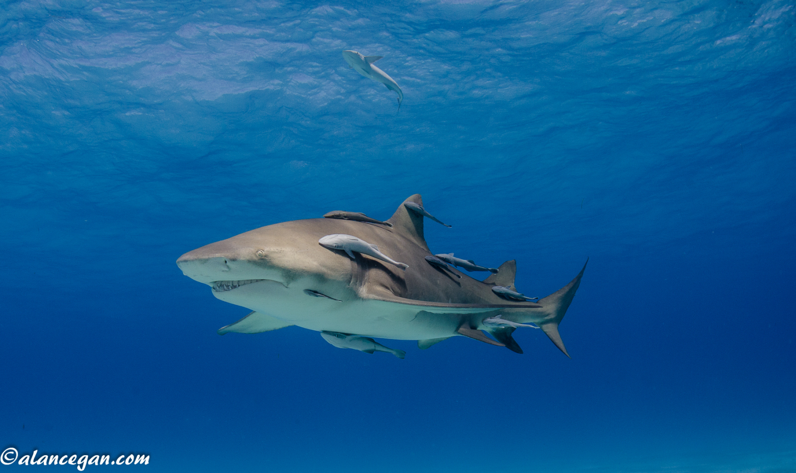 remora and sharks symbiotic relationship with fish