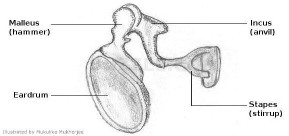 Ear bones tenderness sense of sound on emaze human body ccuart Images