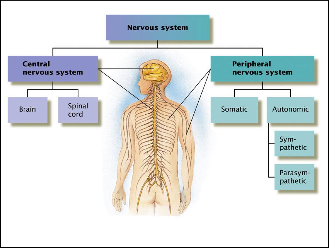 2 The regulatory role of nervous system Cellular base of nervous system