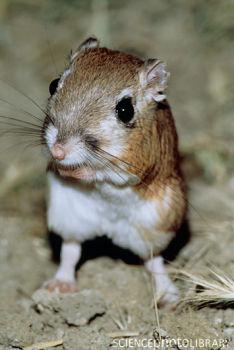 Kangaroo Rat 2