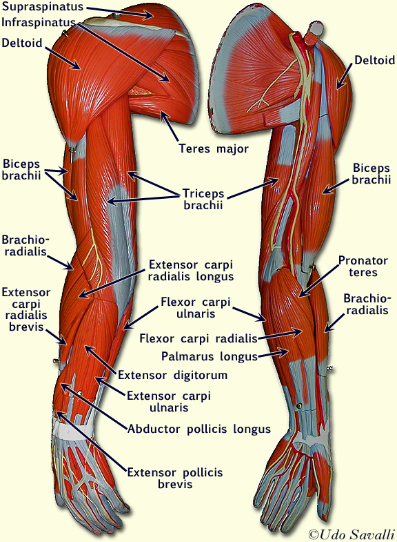 label the muscles of the body – lickclick, Muscles