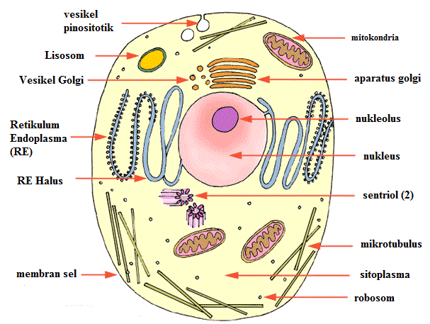 Sel hewan ulya sofyan struktur sel hewan ccuart Choice Image