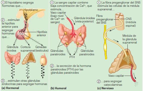 sistema endocrino copy1 on emaze