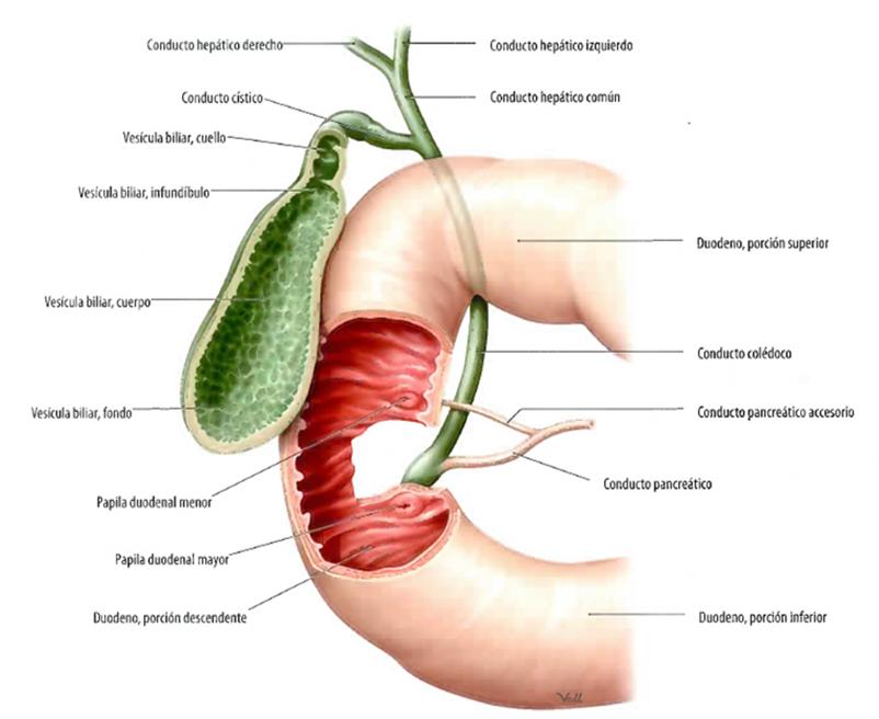 Hígado, vesícula biliar y vía bi...