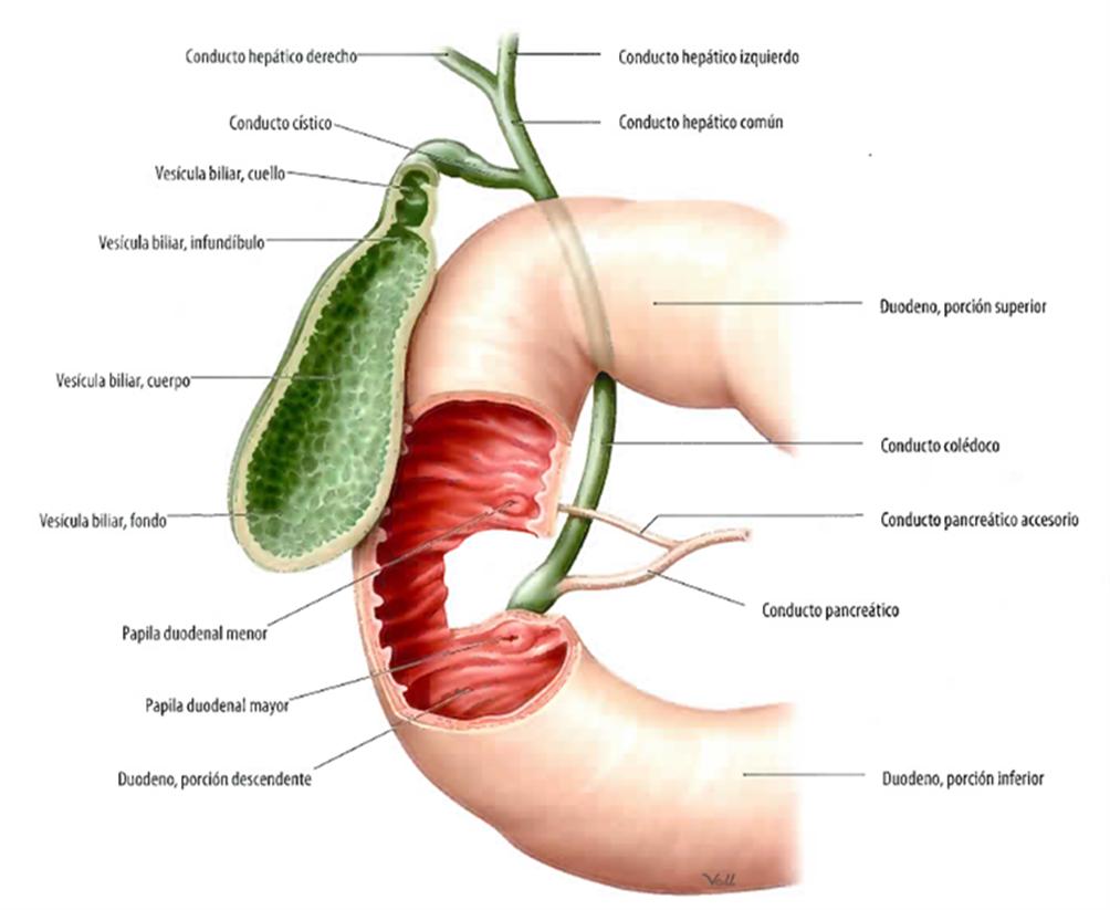Lujoso Foto De La Vesícula Biliar En El Cuerpo Motivo - Anatomía de ...