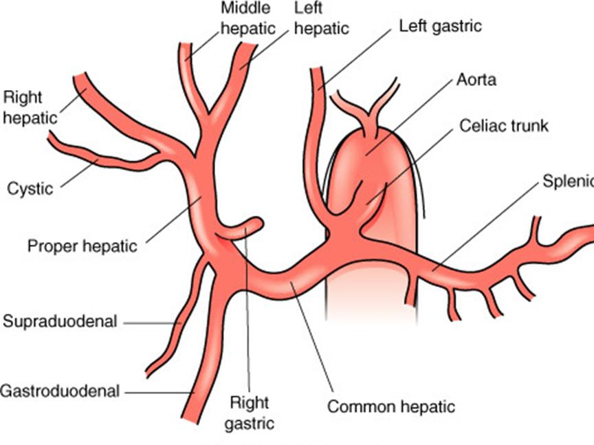 Fantástico Anatomía Arteria Hepática Foto - Imágenes de Anatomía ...