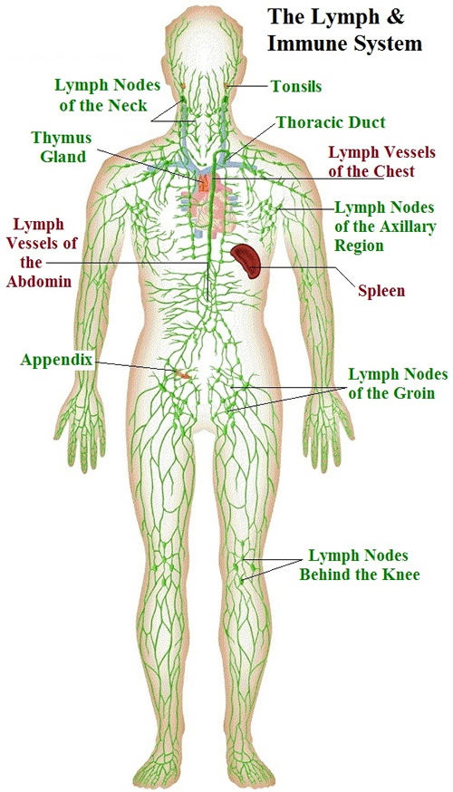 the lymphatic system, Cephalic Vein